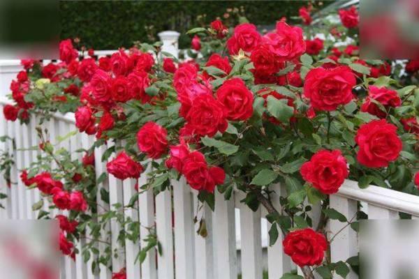 Лучшие сорта красных плетистых роз - фото-каталог