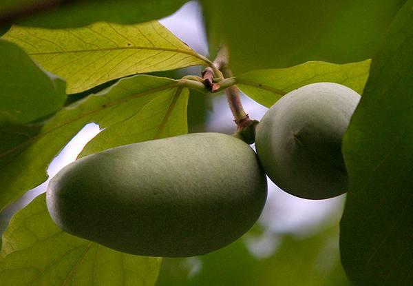 Азимина выращивание в средней полосе 100